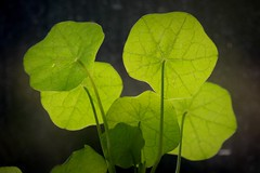 011.365.2016 (johnny the cow) Tags: leaves wales photo diary cymru collection veins backlit 365 catalogue ceredigion nasturtium 2016 aphotoaday 366 llanafan