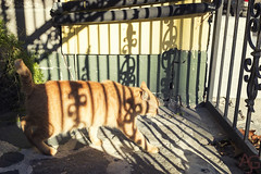 olde town inn cat (Anne J Gibson) Tags: sunlight color cat outside shadows neworleans streetphotography nola marigny streetcat catmoments mardigras2016