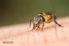 Stingless bee (Meliponini) - DSC_6290 (nickybay) Tags: maliaubasin maliau basin sabah malaysia macro stingless bee apidae meliponini borneo