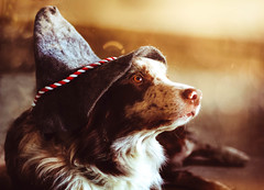 The one with the hat (dinahlorraine) Tags: dog pet hat hut hund bordercollie haustier