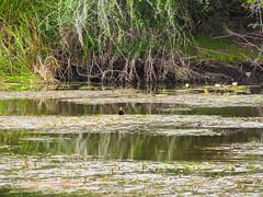 """The New River: les oiseaux Jésus Christ, les oiseaux qui marchent sur l'eau <a style=""""margin-left:10px; font-size:0.8em;"""" href=""""http://www.flickr.com/photos/127723101@N04/25473090744/"""" target=""""_blank"""">@flickr</a>"""