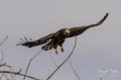 Juvenile Bald Eagle struggles to land - 10 of 27
