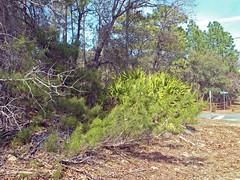 Scrubby Pine, Pine Ridge (StevenM_61) Tags: trees florida brush vegetation scrub pinetrees pineridge