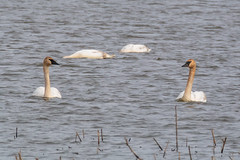 Spring Migration (Majtek862) Tags: morning winter white lake game bird nature wet water animal rural swimming pose reeds swan fishing surf waves mask outdoor cove ripple wildlife feathers missouri swamp waterfowl wetland graze squawcreek trumpeterswan aquaticbird