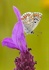 Reposo (Maite Mojica) Tags: primavera flor lepidoptera campo mariposa insecto lycaenidae lavandula lepidóptero aricia stoechas cramera artrópodo cantueso licénido