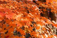 NarukoOnsen-26 (clouddra) Tags: autumn japan jp miyagiken narukogorge narukoonsen sakishi