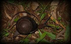 Hedleyella falconeri (dustaway) Tags: mollusca gastropoda hedleyella caryodidae hedleyellafalconeri giantpandasnail