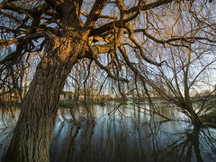 Spring willows on the Thames (Bruce Clarke) Tags: trees sunset water landscape spring outdoor branches olympus riverthames ultrawide willows oxfordshire wallingford lowsun m43 zd 714mm castlemeadows omdem1