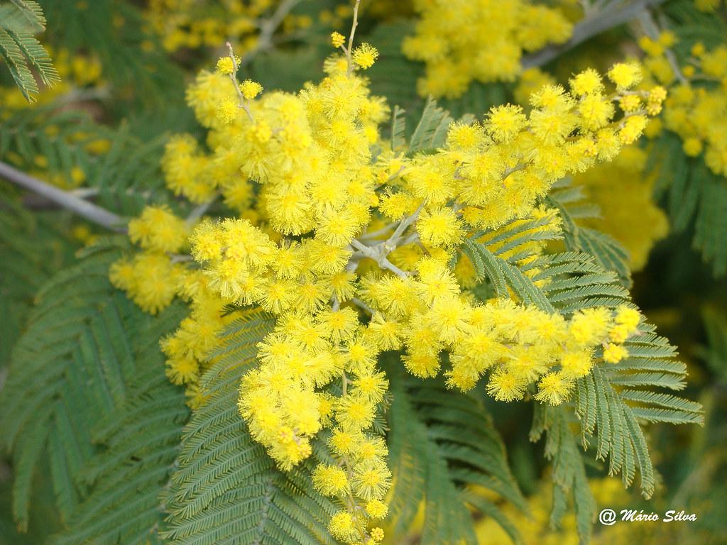 Águas Frias (Chaves) - ... mimosas ...