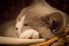 Snoozing (katezillaa94) Tags: uk cute cat canon eos scotland cafe paw sweet kitty sleepy aberdeen snoozing