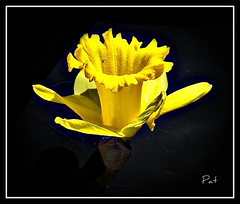 For You All (patrick.verstappen) Tags: winter flower yellow garden photo yahoo google nikon flickr all belgium you pat sigma daffodil facebook picassa gingelom d7100 pinterest