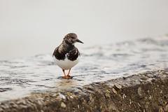 Ruddy Turnstone (Future-Echoes) Tags: bird wet water animal wall coast march dof bokeh feathers depthoffield essex ruddyturnstone 2016 waltononthenaze