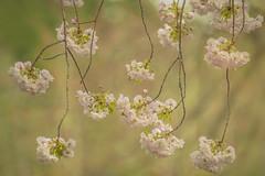 ICHIYO SAKURA (ajpscs) Tags: pink flower japan japanese tokyo spring blossom  cherryblossom  sakura nippon    hanami shinjukugyoen haru    seasonchange springblossom   ajpscs springsarrival scentofspring pinkisthecolorofspring  nikond750 blossombyblossom ichiyosakura