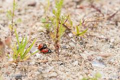 Siebenpunkt Marienkfer (gerhard.wolff2016) Tags: de deutschland tiere sand wildlife paar insekt garten schleswigholstein kfer marienkfer paarung siebenpunkt siebenpunktmarienkfer