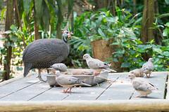 DSC_0049 (danchua) Tags: feeding dove guineafowl helmeted