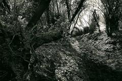 Hod Wood, Stourpaine, Dorset, England (a.pierre4840) Tags: trees england blackandwhite bw monochrome landscape noiretblanc olympus dorset holloway omd 1250mm em5 f3563 artfilter fotor stourpaine mzuiko
