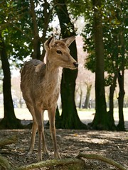 Nara, Japan (edin86) Tags: travel nature animal japan asia deer nara