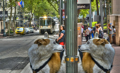 Recognizing Yourself (swong95765) Tags: street city dog cute dogs look animals funny downtown expression humor canine scene surprise bugeyed