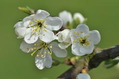 Plum blossom. (Devon-Dumpling1) Tags: flower macro green nikon blossom fresh devon exeter plumblossom 2015 d5000
