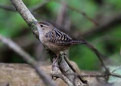 "Sedge Wren (Scott ""Burns"" Evans) Tags: county bird nature scott photography evans indiana monroe april marsh wren stillwater bloomington migration avian 2016"