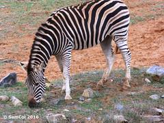 Monarto Zoo - Zebra (samcol6) Tags: nature animals lumix zoo sam south australia panasonic zebra col 2016 monarto fz150 samcol6