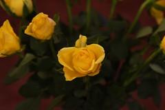 DSC_0799 (PeaTJay) Tags: flowers roses plants macro nature rose gardens fauna reading flora sigma indoors micro closeups berkshire rosebuds lowerearley nikond750