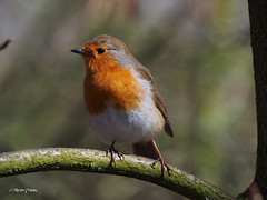 Robin  M4109168sm (Preselector) Tags: robin rspb leightonmoss suttoncoldfieldrspb