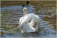 zwaan (HP000298) (Hetwie) Tags: nature spring swan nederland natuur lente eend vijver noordbrabant zwaan helmond brouwhuis