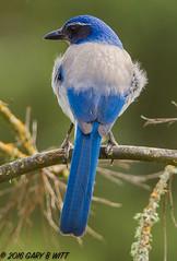 Western Scrub-jay (orencobirder) Tags: birds jays flickrexport largebirds