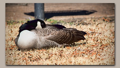 One-Eye Shut-Eye (gtncats) Tags: park nature outside feathers goose frame napping resting fowl waterfowl roosting canadagoose ef70300mm photoborder worldofanimals canon70d photographyforrecreation dropboxshadow