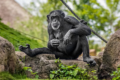Chimpansee (Cynthia ten Bras Photography) Tags: nature zoo tiere wildlife sony ape tierpark gelsenkirchen apes tier apen chimpansee wildlifephotography zoomerlebniswelt sonyalpha zoophotography zoomgelsenkirchen sonyalpha350
