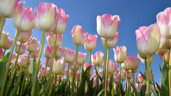 1st of May (ZaaziPix) Tags: holland easter spring day tulips 1st labor may international solidarity unite orthodox 2016 zaazipix zaazi