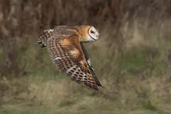 Barn owl (Phiddy1) Tags: ontario canada birds owl barnowl crc