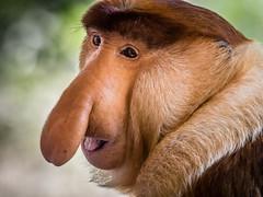 Portrait of Male Proboscis Monkey _P3150684.jpg (Marc Weinberg) Tags: portrait male monkey philippines olympus borneo bignose primate indigenous longnose animalportrait proboscismonkey getolympus olympusomdem1