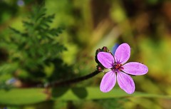 Wildblume (Hugo von Schreck) Tags: flower macro bokeh blume makro wildflower blte f13 wildblume onlythebestofnature hugovonschreck