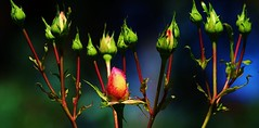 ForCecipartialEdit2 (Michael T. Morales) Tags: flowers rose garden buds rosebuds