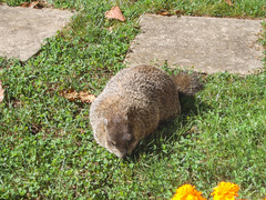 Chuck is thinking about my flowers (avatarsound) Tags: animal rodent wildlife woodchuck groundhog whistlepig