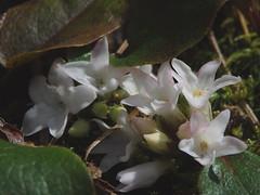 Epigaea repens (mayflower, trailing arbutus) (kevinandrewmassey) Tags: flower flora n arbutus wildflower linvillegorge mayflower repens trailing epigaea