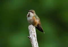 Rufus Hummingbird Female (jerrygabby1) Tags: