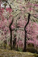20160229-102951_5K_80 (pya) Tags: kyoto  camellia plumblossoms jonangu     weepingplumblossoms