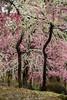 20160229-102951_5K_80 (pya) Tags: kyoto 京都 camellia plumblossoms jonangu 梅花 茶花 城南宮 椿花 weepingplumblossoms
