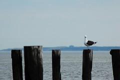 Seagull (Tatyana2016) Tags: ocean blue sea sky seagulls beach nature water birds landscape spring nikon seagull shore dslr