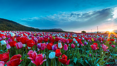 Tulip Sunrise (Explored) (Sworldguy) Tags: plant mountains flower sunrise skyscape landscape outdoors spring nikon sigma wideangle flowerbed tulip bloom fields colourful sunrays brilliant abbotsford fraservalley tulipfarm d7000