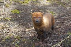 Bush dog 2016-04-01-0374