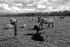 Wild Horses in black-and-white - Herd - 2016-018_Web (berni.radke) Tags: horse pony herd nordrheinwestfalen colt wildhorses foal fohlen croy herde dlmen feralhorses wildpferdebahn merfelderbruch merfeld przewalskipferd wildpferde dlmenerwildpferd equusferus dlmenerpferd dlmenpony herzogvoncroy wildhorsetrack