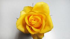 Yellow Tea Rose (bigjohn1941) Tags: rose yellow tea michigan westland