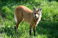 Mhnenwolf (to.wi) Tags: zoo wolf wilhelma raubtier mhnenwolf towi