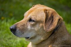 Relaxed dog (OlekGraf) Tags: dog brown green animals nikon outdoor poland relaxed doggie manfrotto olek kielce malogoszcz d3200 nikonflickraward olekgraf