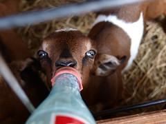 Nubian Kid (wrj95) Tags: baby animal bottle farm goat fed nubian