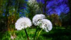 1-2-3 (Yasmine Hens) Tags: flower macro green nature trois three europa flickr belgium ngc vert bleu namur hens yasmine wallonie iamflickr flickrunitedaward hensyasmine